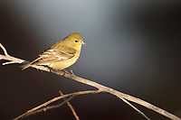 Lesser Goldfinch (Spinus psaltria hesperophilus), female at the Riparian Preserve at Water Ranch, Gilbert, Arizona.