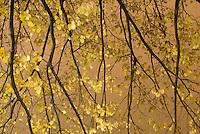 Fall Foliage - Detail of Tree Branches and Leaves in Central Park, Illuminated on an Overcast Night....Central Park, New York City, New York State, USA