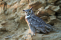 Adult female Great Horned Owl (Bubo virginianus). Sublette County, Wyoming. June.