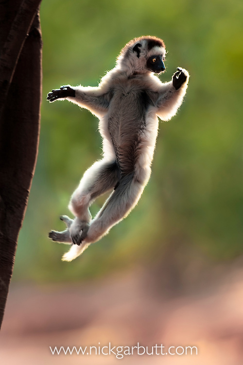 Verreaux's Sifaka (Propithecus verreauxi) leaping from a tree in spiny forest. Berenty Private Reserve, southern Madagascar.