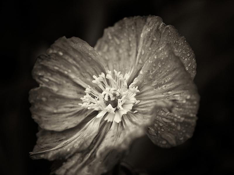 Close up of poppy flower after rain. Oregon