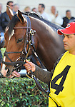 31 January 2009: Nicanor in the paddock before his first race, a maiden race at Gulfstream Park in Hallandale, Florida.