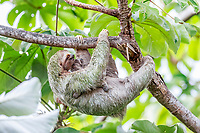 brown-throated sloth, Bradypus variegatus, mother and baby, Manuel Antonio National Park, Costa Rica
