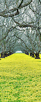 Old walnut orchard with yellow legume ground cover. Near Colusa, California