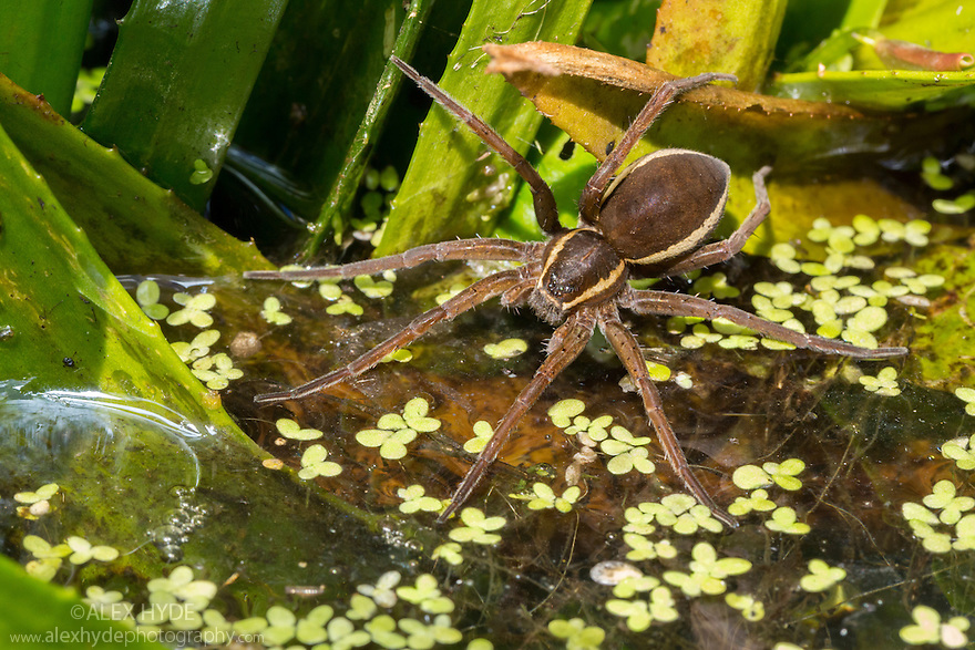 Fen Raft Spider {Dolomedes plantarius} gravid adult female in hunting pose with legs resting on water surface to detect vibrations of prey. Norfolk Broads, UK. August. IUCN Red List 'Vulnerable' species and endangered in the UK where it is fully protected by law under Schedule 5 of the Wildlife and Countryside Act 1981. This photograph was taken under licence.