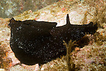 Coronado Islands, Baja California, Mexico; a California Black Sea Hare (Aplysia vaccaria) moves across the rocky reef, attaining a length of 30 inches (76 cm), this is perhaps the world's largest gastropod