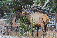 Rocky Mountain Elk Bull.  Northern Rockies.  October.