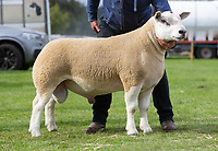 Kelso Ram Sale 2018<br /> Lot 2135  texel  6500gns J Watson, Brijon<br /> ©Tim Scrivener Photographer 07850 303986<br />      ....Covering Agriculture In The UK....