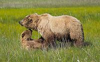 Alaskan brown bear sow and her cub playing in Lake Clark National Park, Alaska