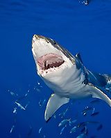 great white shark, Carcharodon carcharias,  with its jaw open, and mackerel scad, Decapterus macarellus, schooling, Guadalupe Island, Baja California, Mexico, Pacific Ocean