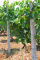 Vines trained high on wires supported by concrete pillars poles, with grape bunches. Parellada grape variety (big leaves). Kantina Miqesia or Medaur winery, Koplik. Albania, Balkan, Europe.