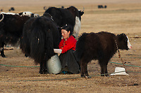 Tibetan nomads milking yak