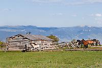 Wild Horse or feral horse (Equus ferus caballus).  Western U.S., summer.  Penn's cabin on the Pryor Mountain Wild Horse Range.