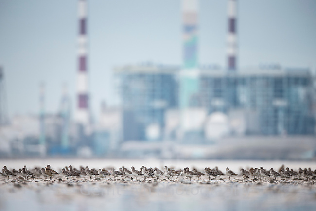 A flock of plovers roosting in South Korea's Geum Estuary. This estuary, flanked by industrial development is the last remaing high quality habitat for Spoon-billed Sandpipers in the ROK. October.