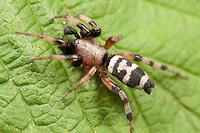 Ground Spider (Sergiolus capulatus) - Male, West Harrison, Westchester County, New York