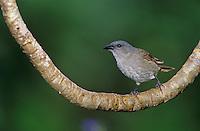 Orangequit, Euneornis campestris,female on branch, Rocklands, Montego Bay, Jamaica, Caribbean