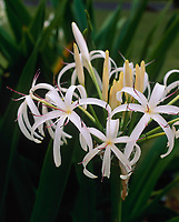 White Spider Lily Tropical Flowers, Hawaii, USA.