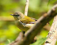 Adult male Tennessee warbler at Paradise Pond in April