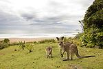Eastern Grey Kangaroo (Macropus giganteus) mother and joey at the coast, Pebbly Beach, Murramarang National Park, New South Wales, Australia