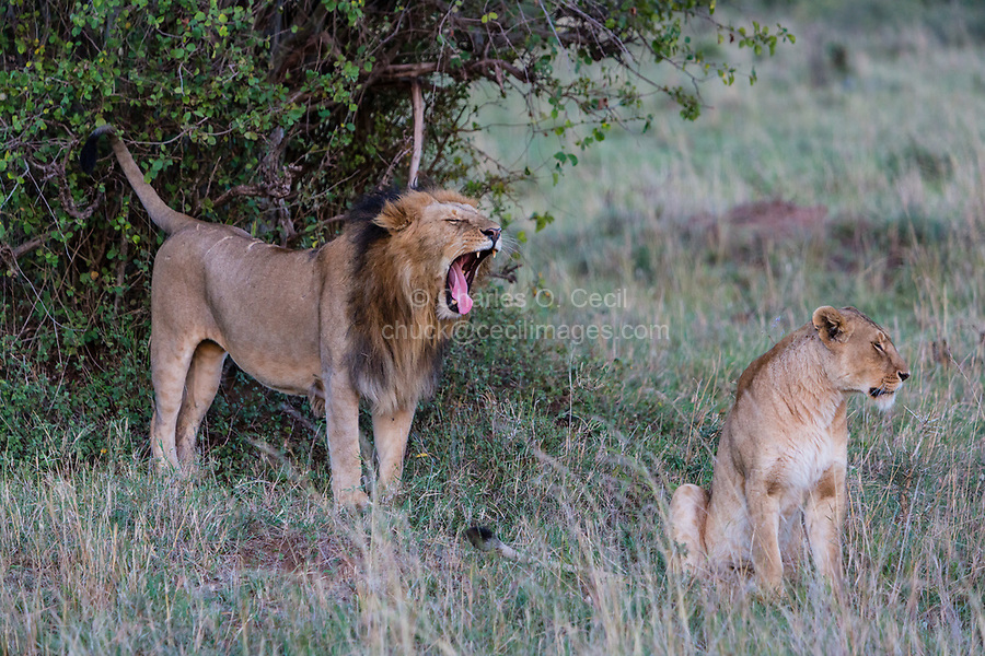 Tanzania. Serengeti. Lion Couple, Male Roaring.