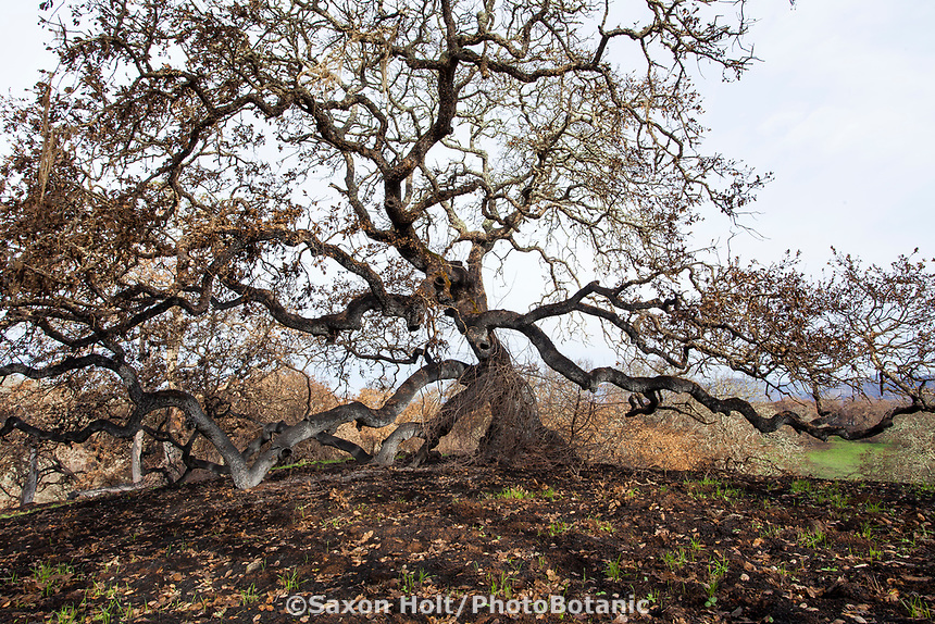 Majestic Oak tree burned; Fire damage and recovery from Nuns fire October 2017, Sonoma Regional Park, California