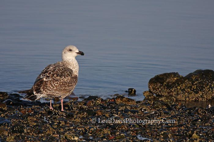 Gull at Low Tide #B13