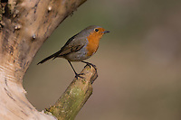 Rotkehlchen, Erithacus rubecula, robin, Le Rouge-gorge familier