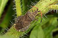 Randwanze, Enoplops scapha, Boat Bug, Randwanzen, Lederwanzen, Coreidae, leaf-footed bugs