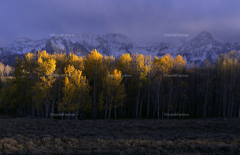 Aspen trees with the San Juan Moutains in the backgroud outside of Ouray, Colorado.