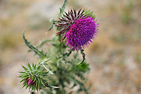 SC - Provinz ARGYLL & BUTE<br /> Another thistle Beauty, but it is not the original national emblem of Scotland<br /> <br /> Full size: 69,1 MB