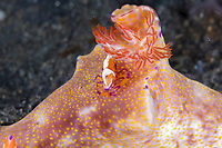 Imperial shrimp, Periclimenes imperator, on nudibranch. Lembeh Strait, North Sulawesi, Indonesia,