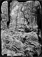 A lush field of ferns is seen along Denecourt Trail number 8 (sentier Denecourt n°8, Le Mont-Aigu) in the Fontainebleau forest of France.