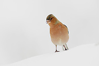 Common Chaffinch (Fringilla coelebs), adult perched on snow, Zug, Switzerland, December 2007