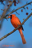 1J06-511z  Northern Cardinal male in winter, Cardinalis cardinalis