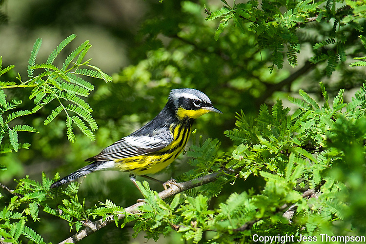 Magnolia Warbler, South Padre Island, Texas