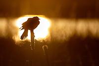 Yellow-headed Blackbirds were in abundance this spring in eastern Idaho.