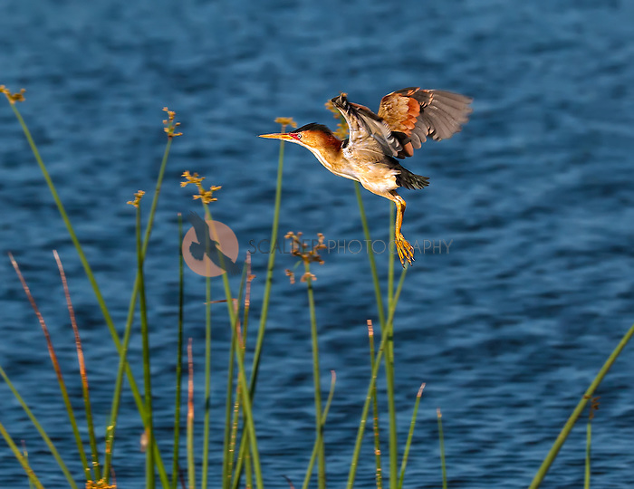 Least Bittern taking off from reeds with water in background