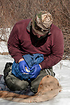 New Hampshire Fish and Game biological technician, Brett Ferry checks the sex of a trapped New England cottontail rabbit inside the Great Bay National Wildlife Refuge. This specimen is a female.