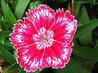 Intricate delicate elaborate beautiful petals of hot pink Sweet William flower.