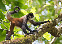 The spider monkey is the largest of Costa Rica's four monkey species.