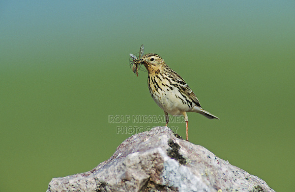 Red-throated Pipit, Anthus cervinus,male with insects, Gednjehogda, Norway, Europe