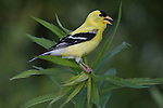 Male American goldfinch (Carduelis tristis) singing
