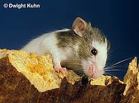 MU60-074z  Pet mouse - exploring