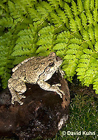 1219-1002  Eastern Gray Treefrog (Grey Tree Frog), Hyla versicolor  © David Kuhn/Dwight Kuhn Photography