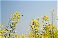 Honeybee with yellow rapeseed flowers, China.