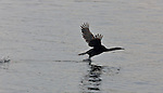 A cormorant takes flight.