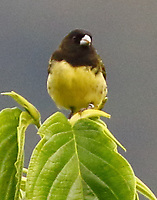 Yellow-bellied seedeater male