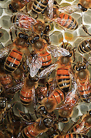 In the bee hive, bees on some empty cells.