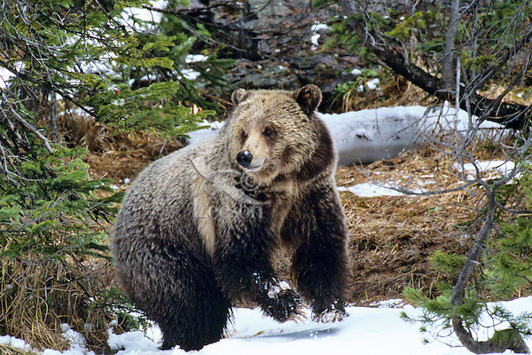 Grizzly Bear in early May in Yellowstone National Park, Wyoming.