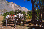White mule and horse tyed to lash rope in camp, John Muir Wilderness, California